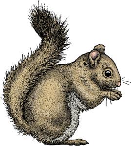 Red Squirrel Tamiasciurus hudsonicus
