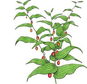 Watermelon Berry